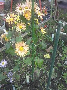 大同団結 自宅では今、つるバラ・シラン・マリーゴールド・キョウチクトウ ・サツキ等が咲いてます。 長~い梅雨、