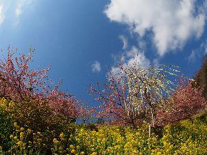 行ってきました、食べてきました、買ってみました 松田山の河津桜を見に行ってきましたよ。 よい天気で気持ちよく早咲きの桜を堪能してきました。 日曜日が