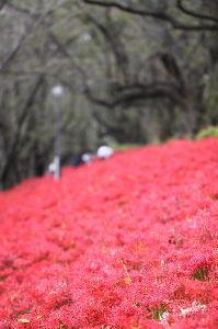 行ってきました、食べてきました、買ってみました 春の桜まつりは毎年のように行くが 紫陽花と曼珠沙華は来たことがなかった。