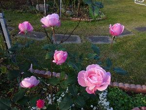 単車好きw もう12月ですね。  早いものです。  今年は暖かいせいか薔薇も良く咲いてます。