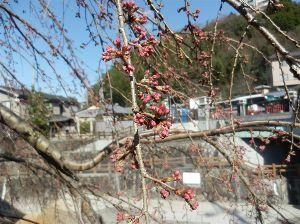 六甲山 昨年は今年より暖かかったのですかね。 昨年の同時期の 有馬・吉高屋の枝垂れ桜の蕾はもう膨らんでいまし