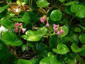 六甲山 今回の山歩きの目的3.「オオイワカガミ!」 これも時期がちょっと遅かったです。 今年も咲いていました
