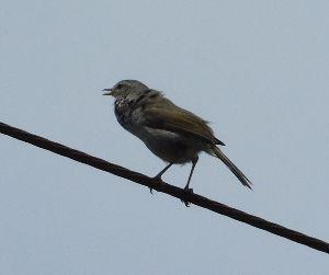 六甲山 本日の鳥! 汚い色をしていますが いい声で鳴いています。 なかなか姿を見ることができませんでしたが