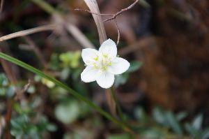 六甲山 こんな花も咲いていました。 ウメバチソウ! 今年はちょっと遅めなのか 蕾が沢山ありました。 これもな