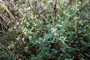 六甲山 4カ所目のアケボノソウ、 いつも咲いている場所を探したのですが 一輪も見つからずあきらめて帰ろうとし