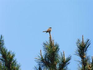 六甲山 今回遭遇した鳥 ホオジロ、やっぱり高いところにとまっていますね。 探しやすいです。 ウグイスは最高峰