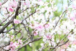 走った後のビールはうまい!! こんばんは~ 先日 大阪城公園へ最後の桜に会ってきました。 天気も最高で大変な人出でした。 けど日本