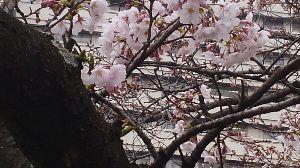 走った後のビールはうまい!! 今日、卒業式を迎えました。  神戸の大倉山で、1本だけ咲き誇る桜がありました。