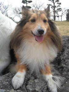 愛犬の死 我が家にも3匹のワンちゃんがいましたが4月10日虹の橋に旅立ちました14最ヶ月のシェルティです。今年