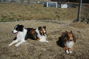 愛犬の死 再びの投稿です昨年の春亡くなったシェルティは娘が友人から譲ってもらい我が家の子になってから7年と7か