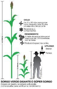 6636 - (株)ソルガム・ジャパン・ホールディングス >スーパーソルガム種子の需要はうなぎ上りです。メキシコもセルロースナノファイバーに目を付けているでし