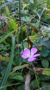 群馬周辺の山と名湯 御荷鉾山 メンバーが、甲斐フウロが咲いているからと、多野藤岡のシンボル・西御荷鉾 ~東御荷鉾~石神峠