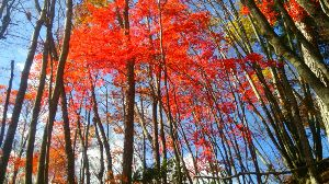 群馬周辺の山と名湯 諏訪山 3日の好天は、会で10年ぶりに上野村の諏訪山へ行った。 楢原登山口から、カエデの多い修験者の