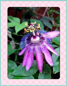 趣味で撮った写真に短い言葉つけるの楽しいよ 午前中に僅か15分足らずですが通り雨が・・・  これこそ庭の花には恵みの雨・・・  あっと言う間に強