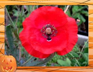 趣味で撮った写真に短い言葉つけるの楽しいよ bigさん  お褒め頂きありがとう・・・  こまめに給水してたら早めに開花・・・  赤色の咲くのは大