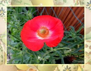 趣味で撮った写真に短い言葉つけるの楽しいよ 陽射しが強いが爽やかな夏日に・・・  シニアクラブのバーさんが暇つぶしに庭の花の見学に・・・  ポピ