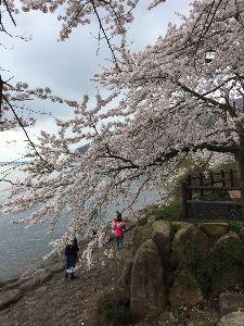 「ある日どこかで」について語りませんか? 湖北のサクラ  ブロちゃんで海津大崎まで行って来ました。 もう散りかけで…あぶない、あ