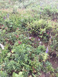 「ある日どこかで」について語りませんか? 伊吹山のお花畑  お花畑と言うにはちょっと地味かも。