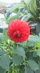 お花 大好きな人 お話ししましょう ミントさんへ  ダリアが次々と咲き始めましたよ  ランサー