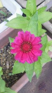 お花 大好きな人 お話ししましょう ミントさん こんばんは  今日は雨が降ったり止んだりの天気でしたよ  百日草が咲きましたよ  ランサ