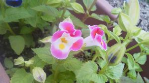 お花 大好きな人 お話ししましょう ミントさん こんばんは~  今日は 曇り空の一日でしたよ  トレニアのピンクが咲きましたよ  ミント