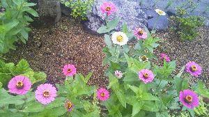 お花 大好きな人 お話ししましょう ミントさん こんばんは  鉄砲百合 綺麗に咲いてますね  百日草の花が咲きましたよ  ランサー