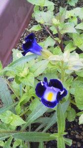 お花 大好きな人 お話ししましょう ミントさん こんばんは  アルバム見ましたよ 色々と咲いて綺麗ですね 管理も大変ですよね  トレニア