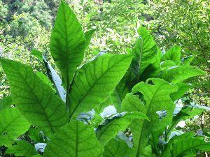 2914 - JT この葉っぱ1枚で、高級葉巻1本つくれますよ。( ´艸`)カッカッカ キセルに枯れ葉を入れ