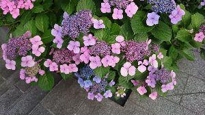 30才未満書き込み禁止! アジサイが咲き始めました。 いつも、鎌倉まで観に行ってたのですが、今年は無理かな