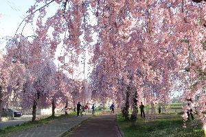 ☆北海道限定ドライブの旅☆ ●ビーバーさん、お早うございます。  桜の季節になりましたか 札幌で連休の頭に咲くって事はやっぱり
