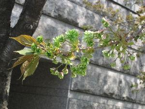 Hだってイイでしょ?! 緑色の珍しい八重桜です。
