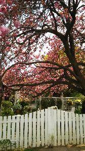 いつまでも☆と・き・め・き・を☆ 嵐のよう 雨と風  近所の絵描きさん宅の 八重桜も散ったかな  さららさんに 素晴らしい ときめきが