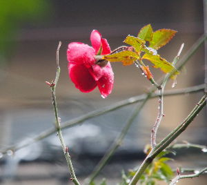 OLYMPUS OM SERIES (いつもの風景) 昨夜からの雨 今 止みかけ ? 自宅のバラが一輪 開花していました。 alto**