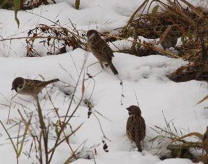 OLYMPUS OM SERIES (いつもの風景)寒雀 今朝の撮影・・鴨側七條大橋付近の残雪と雀。 季語は寒雀 ?  もう晴れ間も出て