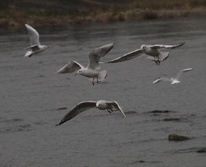 OLYMPUS OM SERIES (いつもの風景) 今朝の鴨川 ユリカモメ・・先ほどから降雨。。 alto***** E-3  18-
