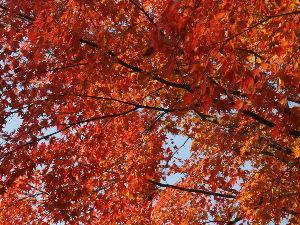 OLYMPUS OM SERIES (いつもの風景) 今日の紅葉 朝6時 外気温 6度  今12:30 15度 近くの 紅葉の名所 東福