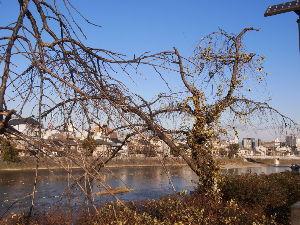 OLYMPUS OM SERIES (いつもの風景) 今朝の撮影・寒々とした鴨川遊歩道の垂れ櫻。 alto***** Oly-PEN-E