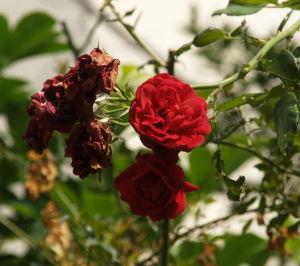 OLYMPUS OM SERIES (いつもの風景) 先ほどの撮影-咲いたバラや枯れたバラの混在の我家 長寿のバラの木。 外気温 29度