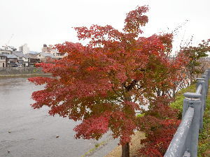 OLYMPUS OM SERIES (いつもの風景) 鴨川遊歩道 夕方の紅葉。 alto*****PEN-EPL2