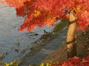 OLYMPUS OM SERIES (いつもの風景)鴨と紅葉 今 外気温 13度 小春日和の京都です・ いつもの鴨川遊歩道のイロハモミジ