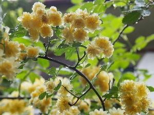 OLYMPUS OM SERIES (いつもの風景)雨に咲く花 朝から弱い雨が降っています。 雨滴が花びらを覆い**** 防水対策されて