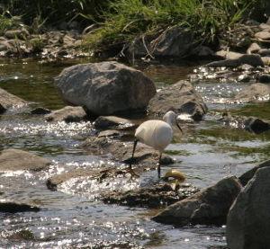 OLYMPUS OM SERIES (いつもの風景)鴨川 先ほどの撮影画像です/冬鳥は北帰行したみたい。 16時で25度の外気温ですわ。