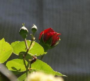 OLYMPUS OM SERIES (いつもの風景) モッコウバラにつずいて樹齢40年?ほどの 老木バラが今日の陽気に誘われ開花直前 !