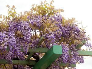OLYMPUS OM SERIES (いつもの風景)曇り空ですが。 近くの児童公園の藤棚が満開、、 昆虫も花粉集めに飛来、、、 このフジ