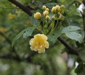 OLYMPUS OM SERIES (いつもの風景)もっこうバラ 雨も降り止み外気温18度の京都です。 玄関前は雨で打たれて落下した花び
