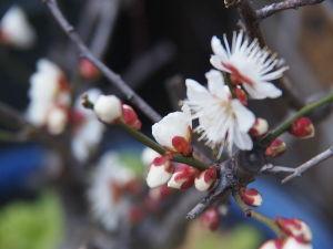 OLYMPUS OM SERIES (いつもの風景)ご近所の梅 ? 早朝は寒かったけれど 今 8度であったかい。 今週はコンデジからスタ