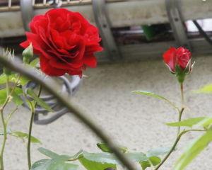 OLYMPUS OM SERIES (いつもの風景) -12433のバラが綺麗に開いてきました。 本日の撮影です、外気温21度 もう雨が