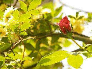 OLYMPUS OM SERIES (いつもの風景) 天気予報のとうりの快晴です。 モッコウバラに隠れていた 老樹バラが 咲き始めてきま