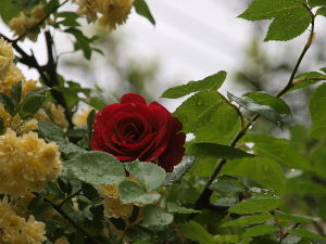 OLYMPUS OM SERIES (いつもの風景)雨あがりに。 モッコウバラを押しのけて開花してきた。 alto*****Oly-E-