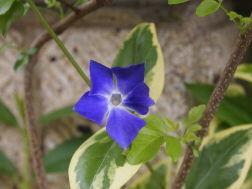 OLYMPUS OM SERIES (いつもの風景) 花の名前は???ですが我家玄関に多く開花中。。。 いまにも降りそうな天気です。 a